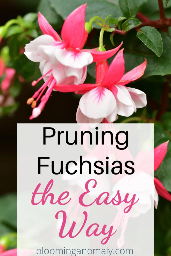 Pruning Fuchsias