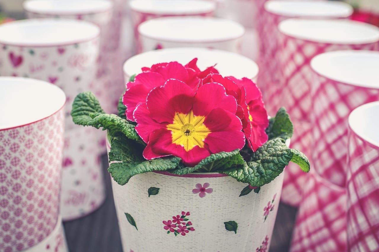 pink primrose in pot