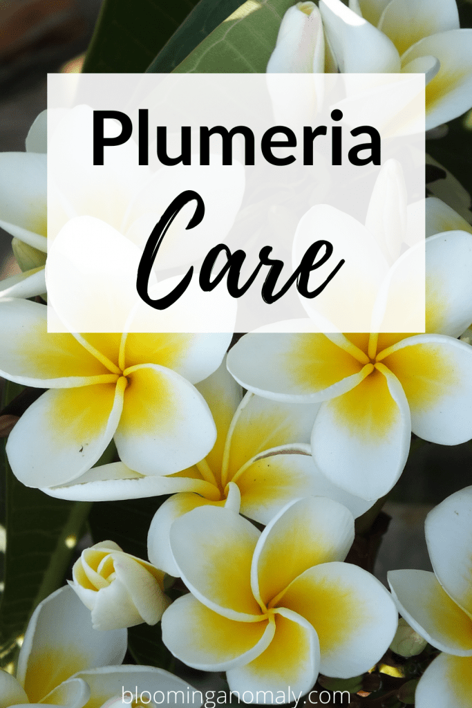 plumeria care