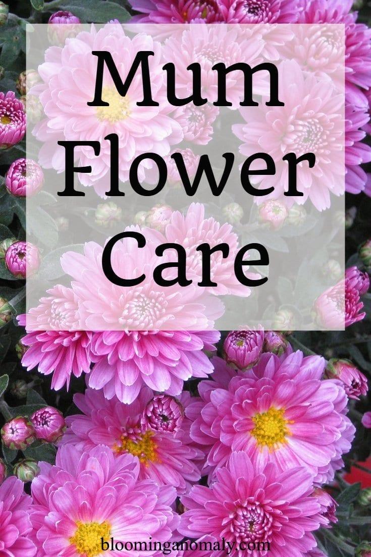 mum flower care, chrysanthemums