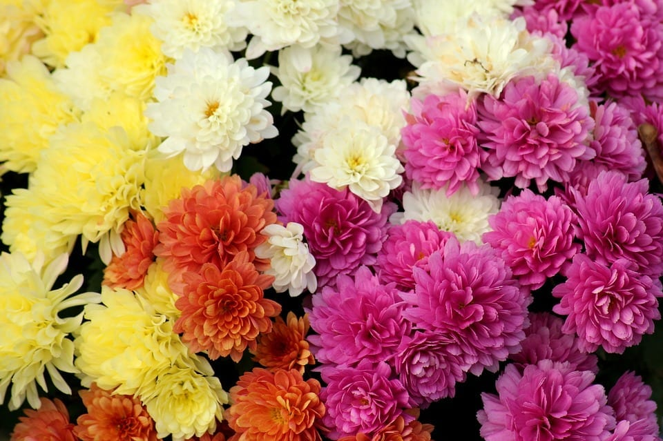 yellow, white, and pink chrysanthemums