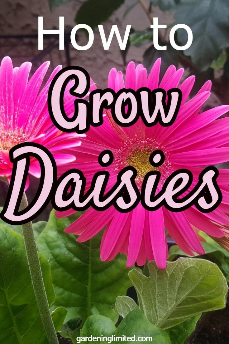 how to grow daisies, daisies, flowers, shasta daisies, gerbera daisies, pink daisies, cut flowers