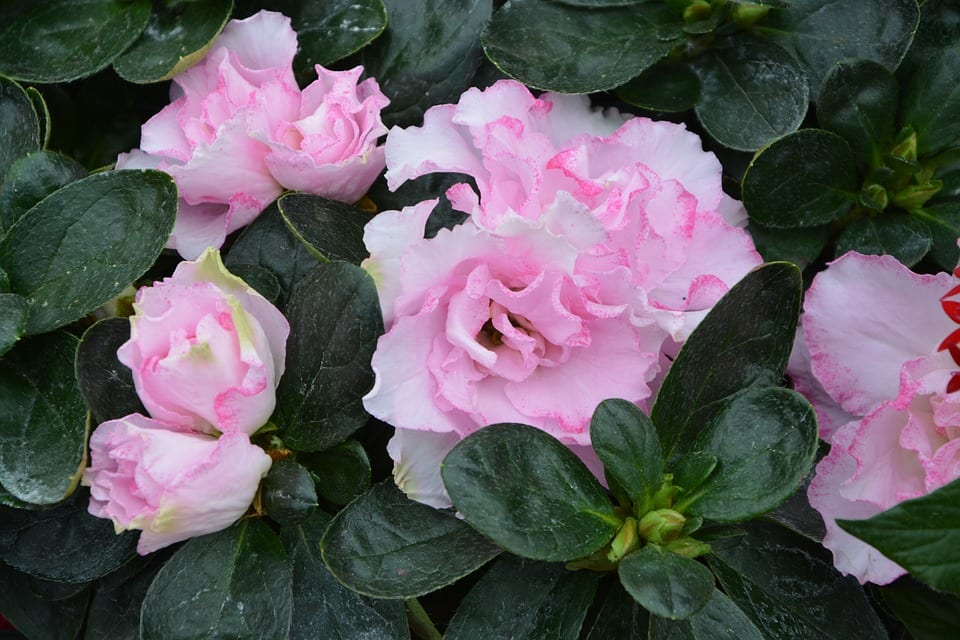 pink-potted-flowers