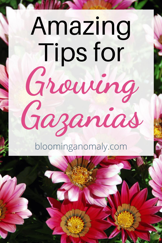amazing tips for growing gazanias
