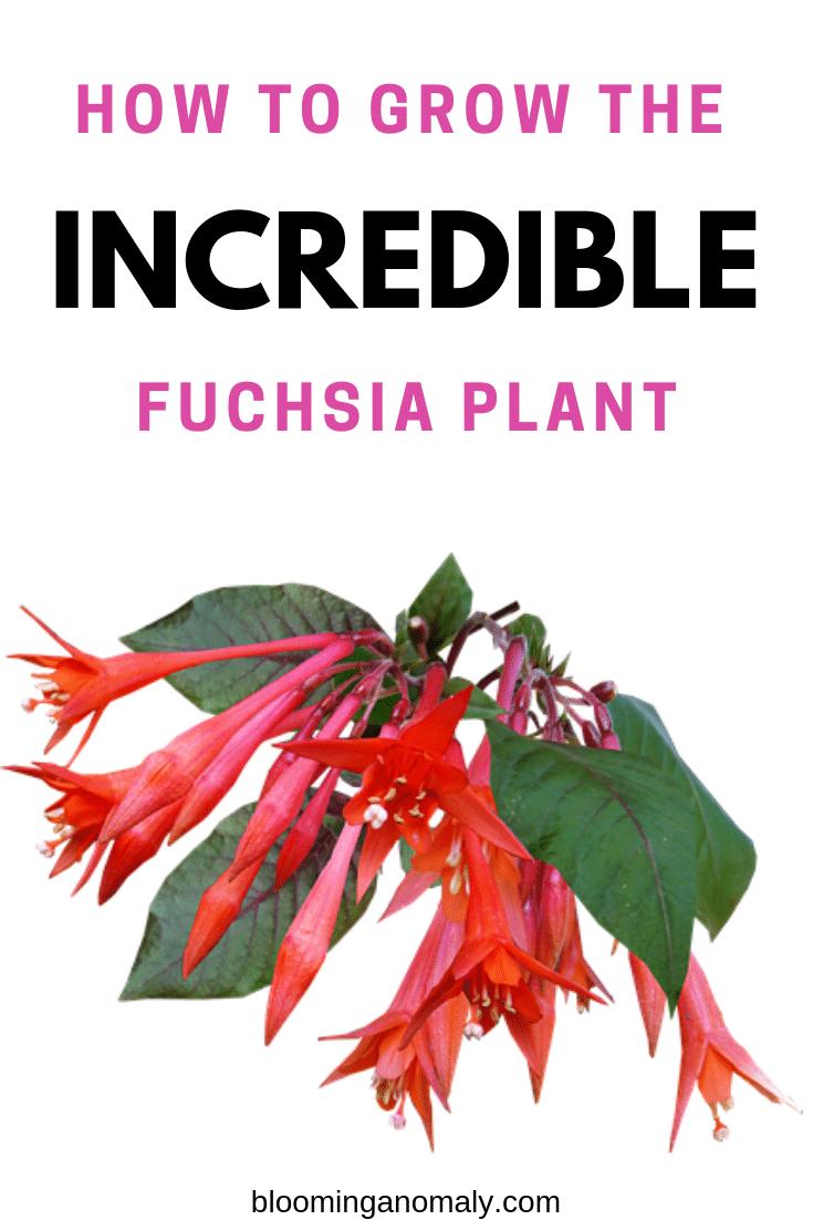 how to grow the incredible fuchsia plant, fuchsias, fuchsia flower