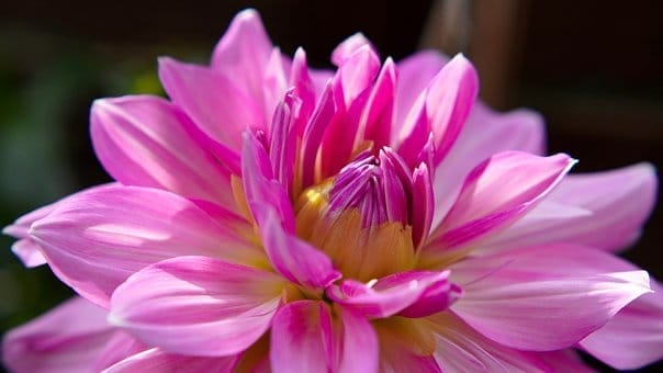 beginner gardening tips, dahlia, pink flower