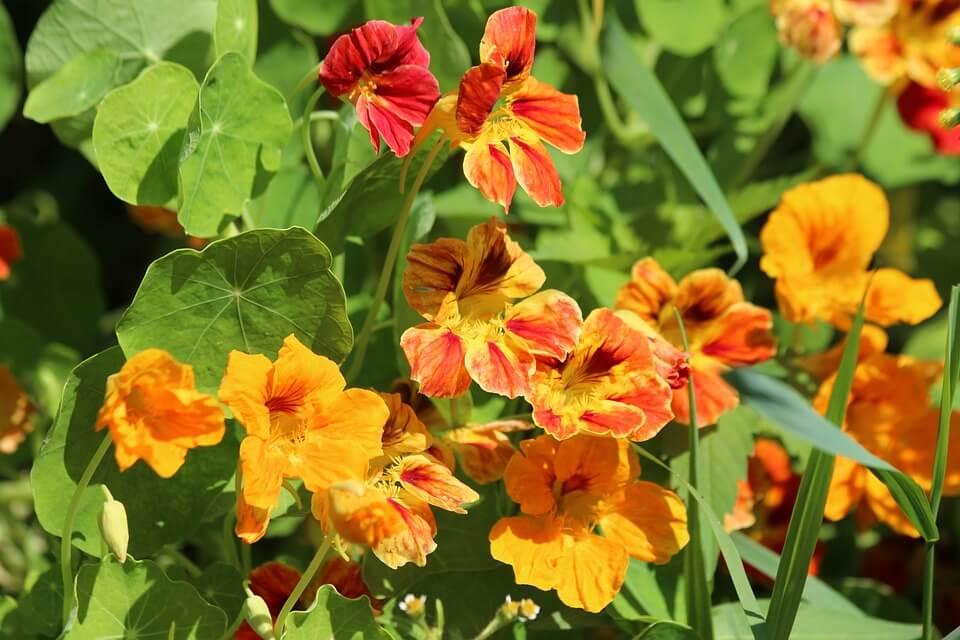 best flowers for vegetable gardens