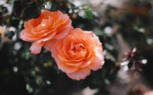 peach rose bush