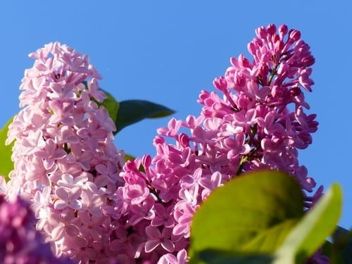 8 Popular Flowering Garden Shrubs That are Easy to Grow