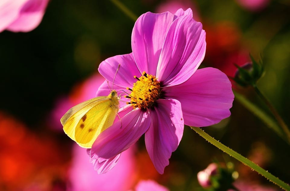 butterfly resting on cosmos flower