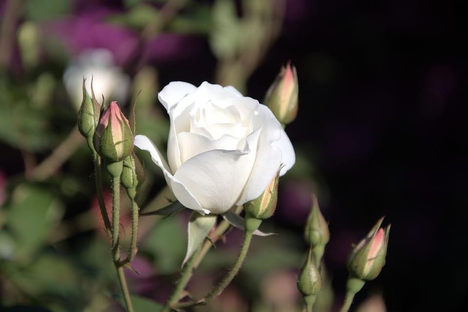 white iceberg rosebud