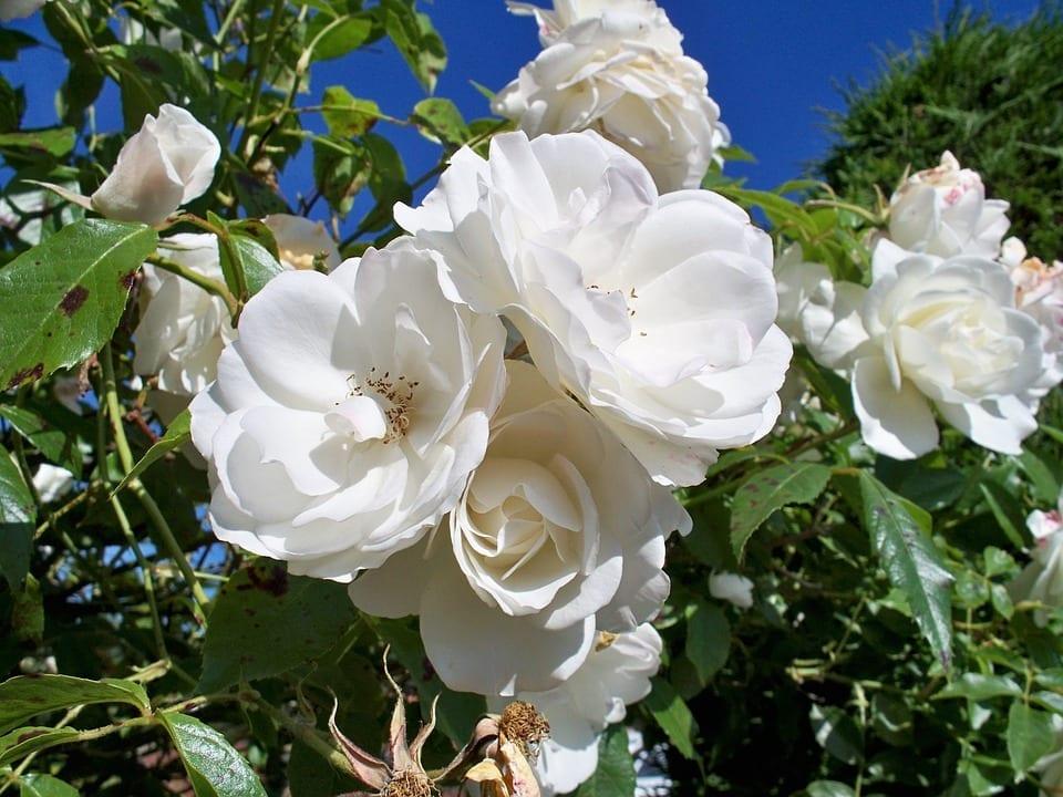 original iceberg roses