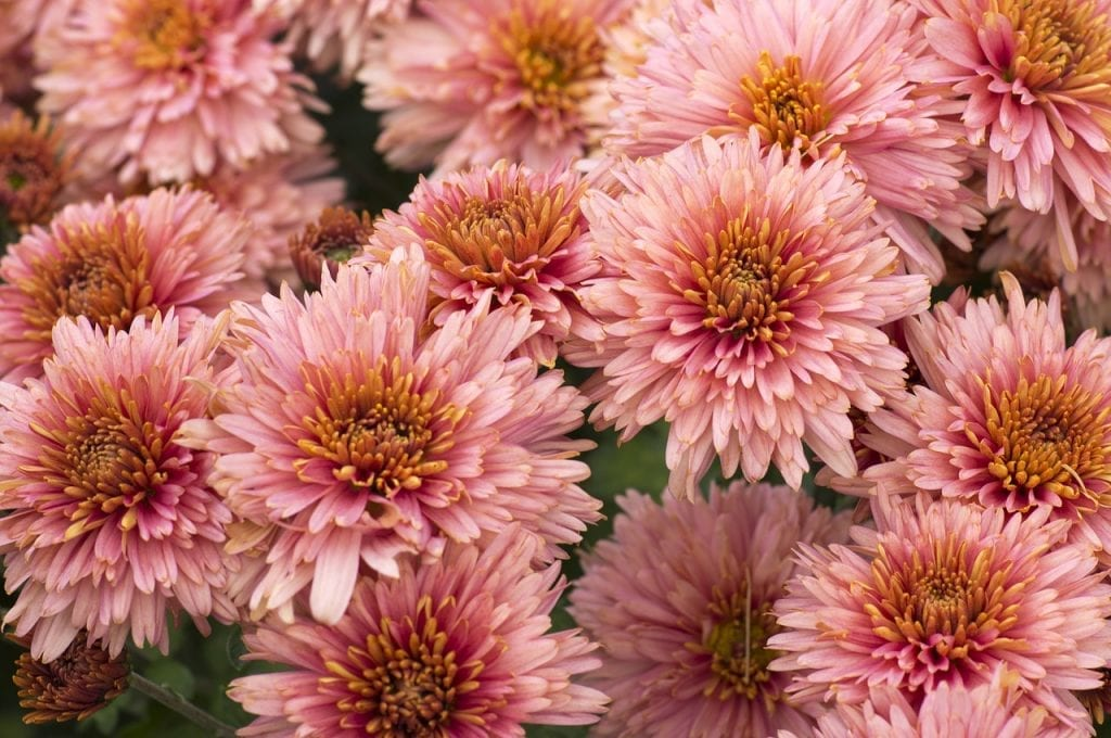 peach chrysanthemums