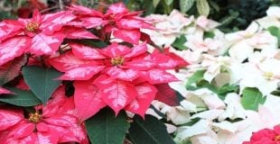 red-and-white-poinsettias