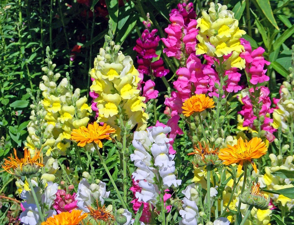colorful-snapdragons