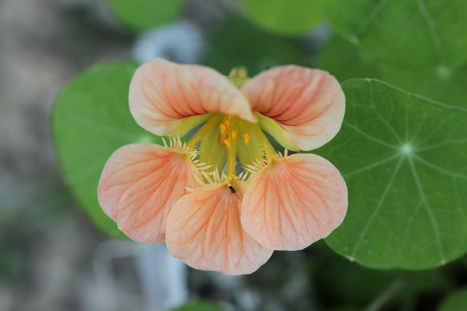 orange-garden-nasturtium