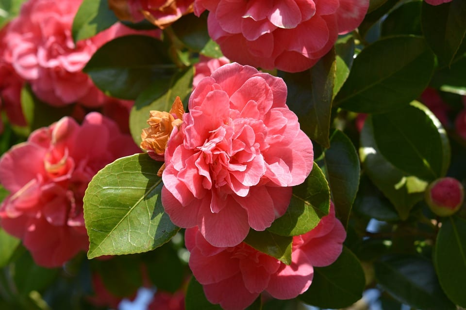 pink-camellias