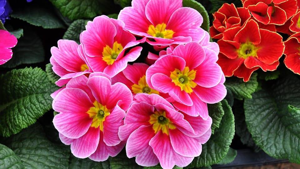 pink-primrose