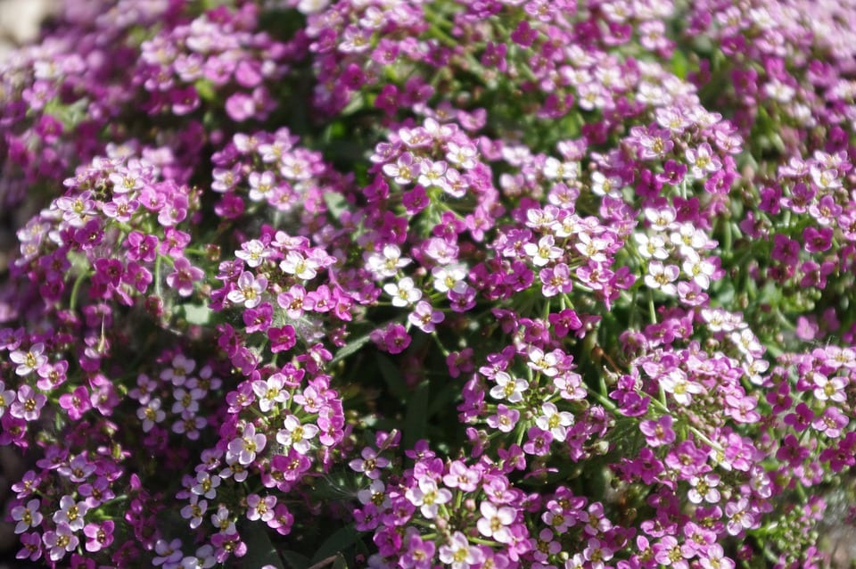 purple-sweet-alyssum
