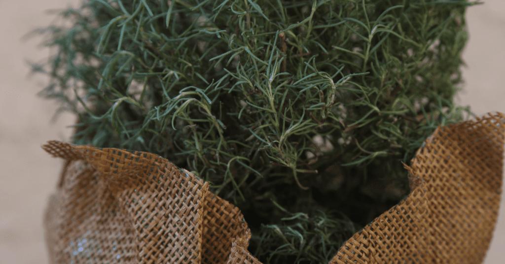 rosemary-closeup