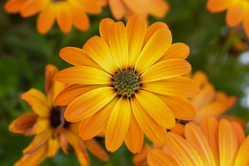 yellow-orange-calendula-flowers
