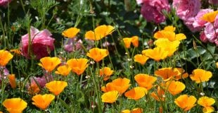 california-poppies-and-roses