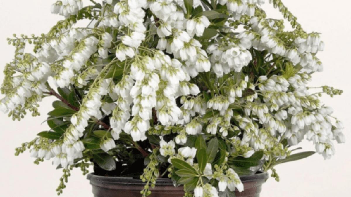 mountain snow pieris plant