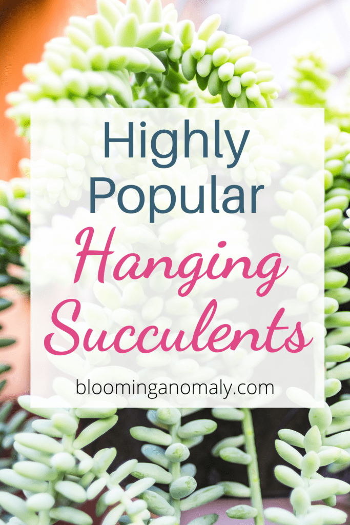 highly popular hanging succulents