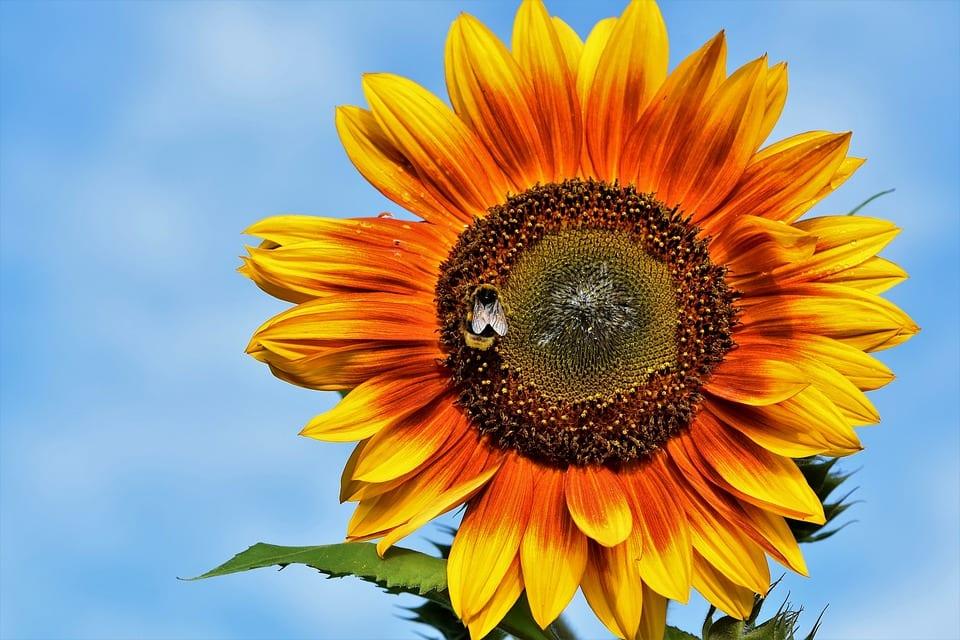 orange_sunflower