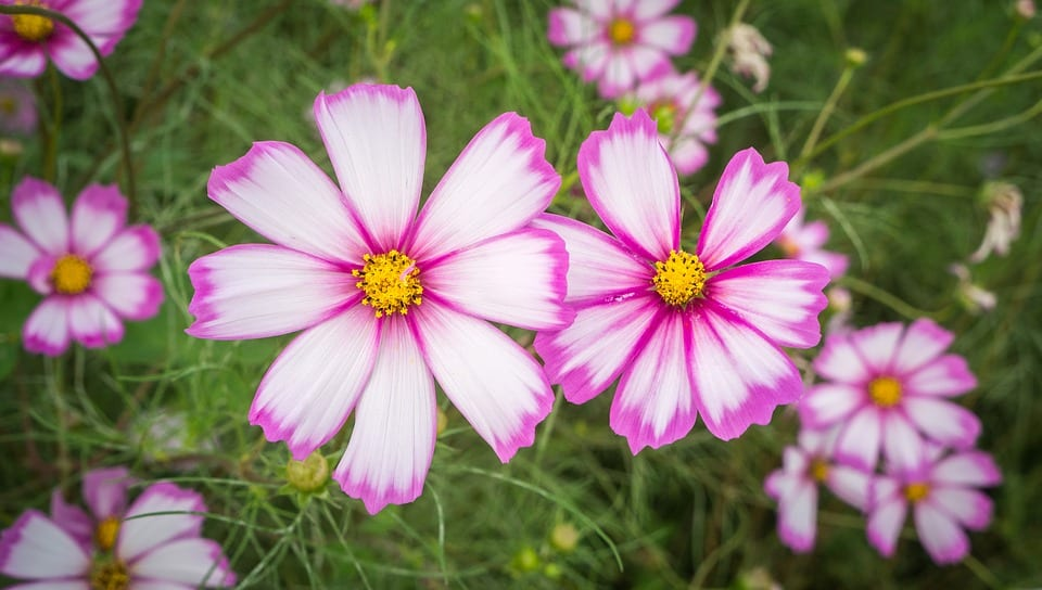 pink_cosmos