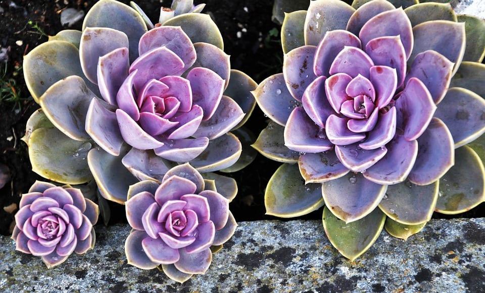 pink_succulents