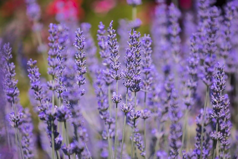 purple_lavender_herb