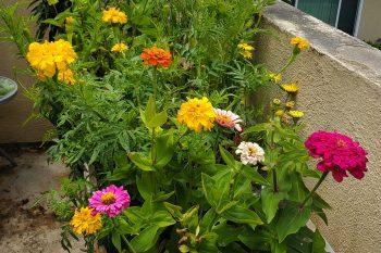 my_colorful_zinnias
