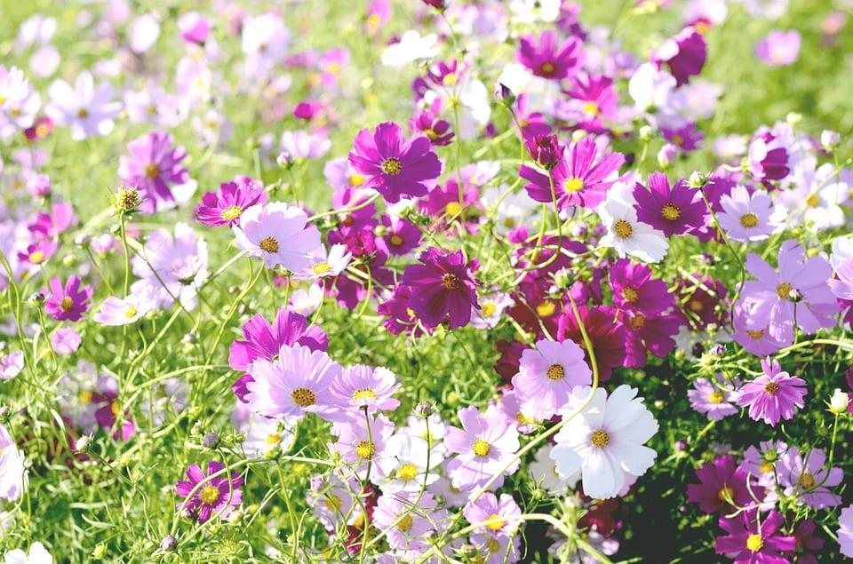 pink_cosmos_flowers
