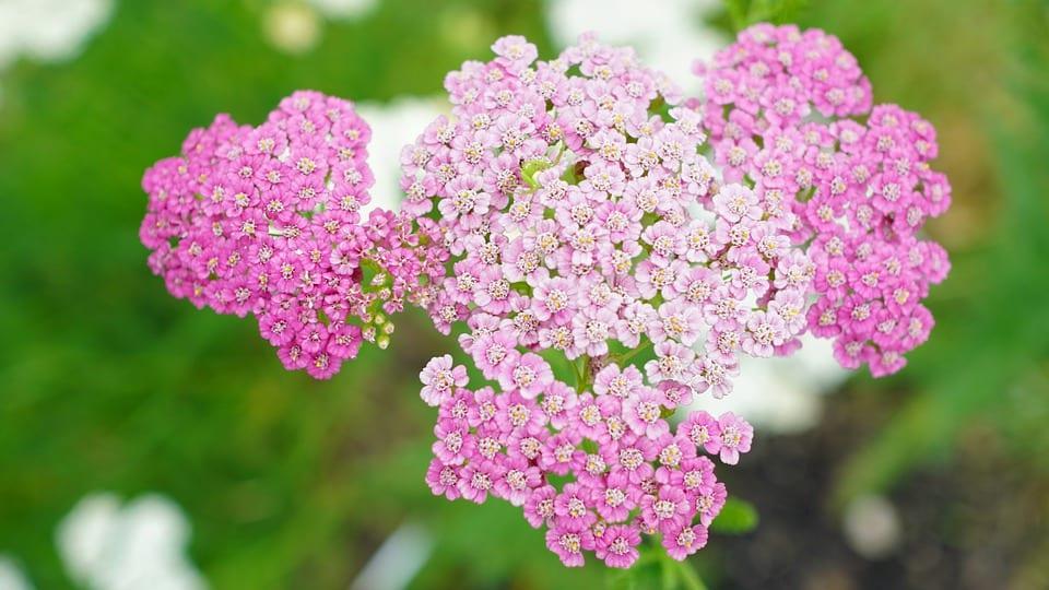 pink_yarrow