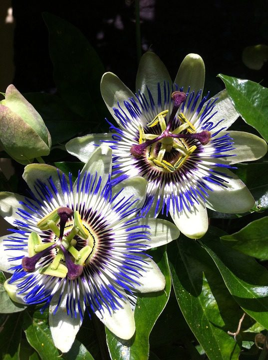 purple_and_white_passion_flowers