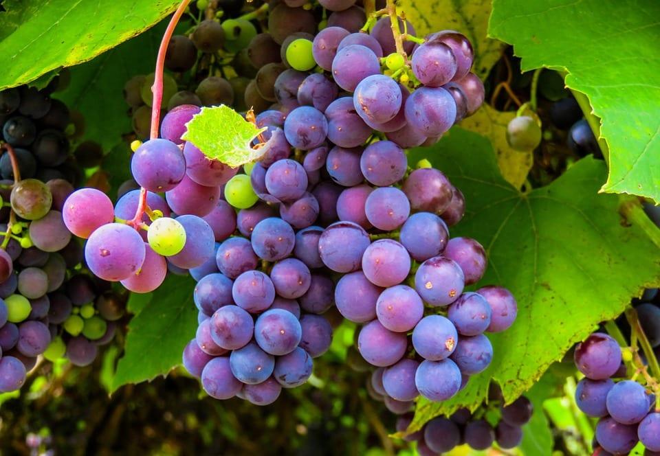purple_grape_vine
