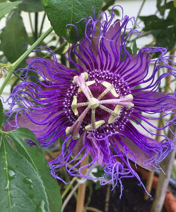 purple_passion_flower