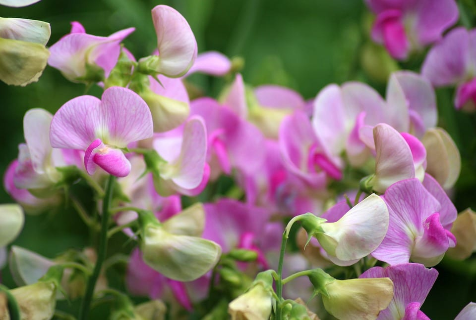 sweet-pea-scented