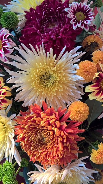 chrysanthemum-flowers