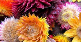 colorful-strawflowers
