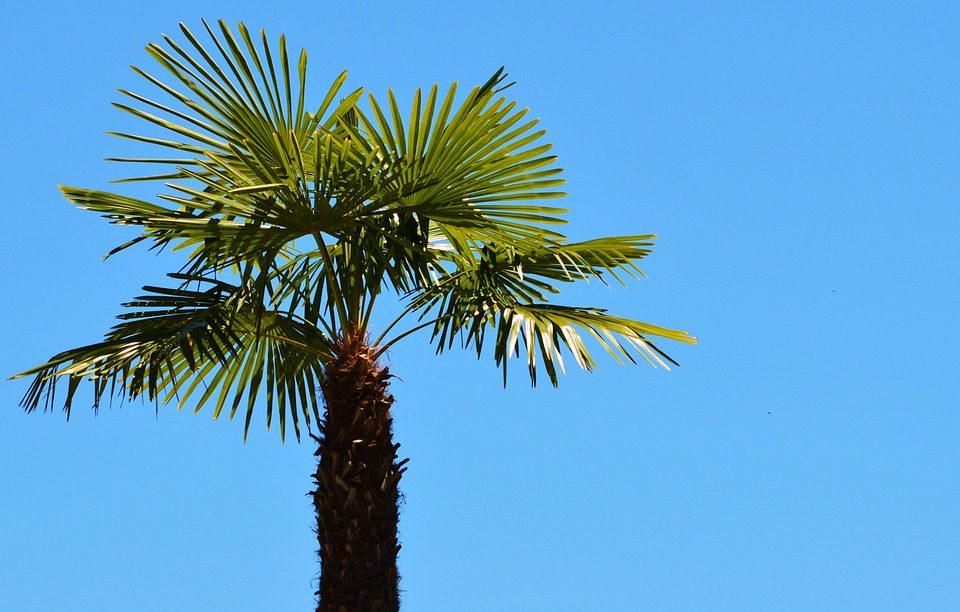 fan_palm_tree