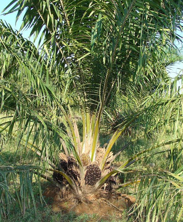 oil-palm-tree