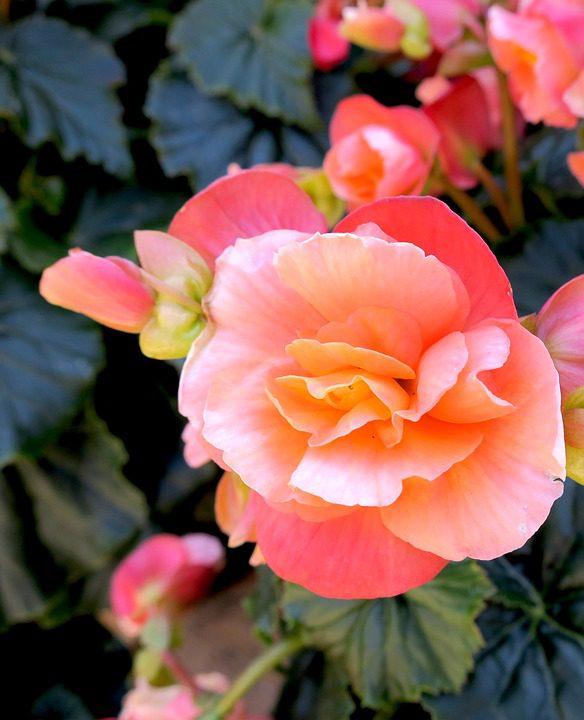 pink-begonias