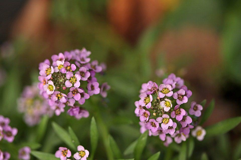 purple-alyssum