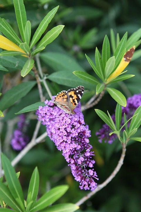 purple-butterfly-bush