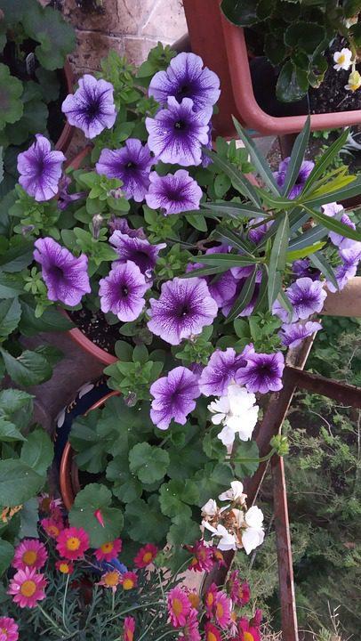 purple-petunias