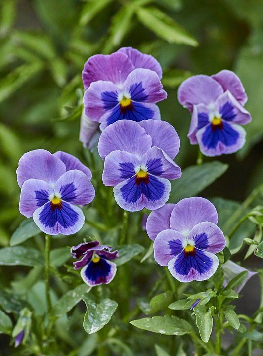 purple-violas