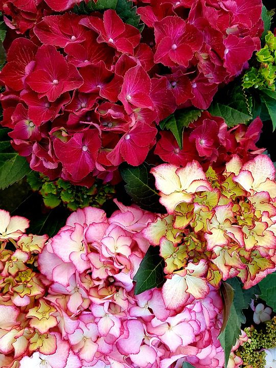 red-and-pink-hydrangeas