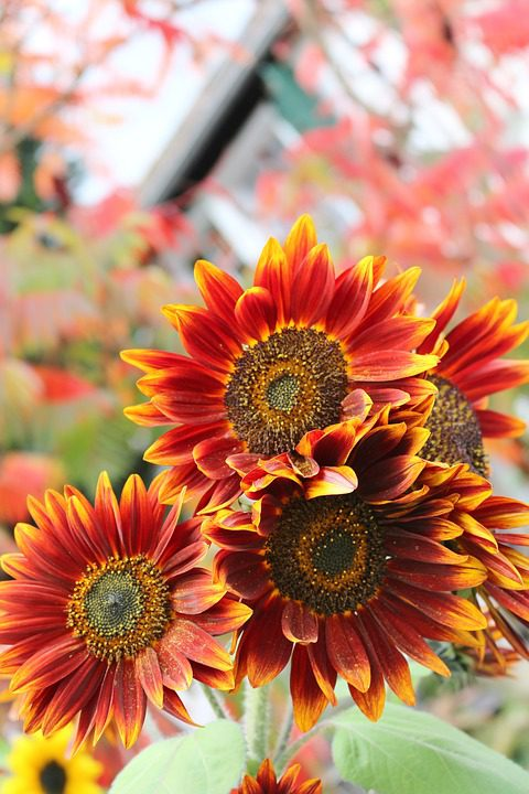 red-sunflowers